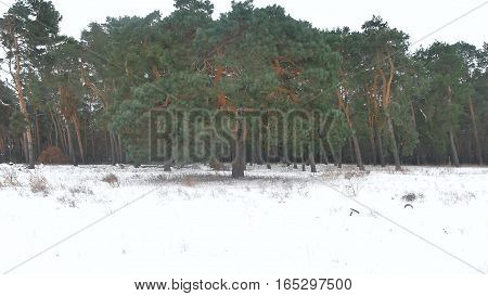 forest trees christmas tree, snow frost cold landscape winter nature