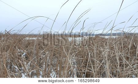 dry grass marsh winter nature reed beautiful landscape