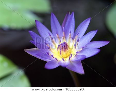 closeup purple lotus flower (water lily) with yellow pollen in pond, aquatic plant for garden decoration, selective focus