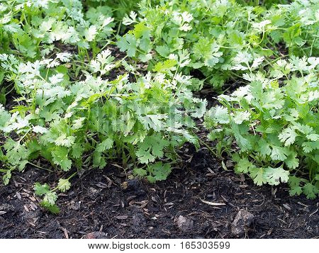 closeup coriander growing on fertile ground in vegetable garden, selective focus, homegrown vegetable of Thailand commonly used as decorations or food ingredients