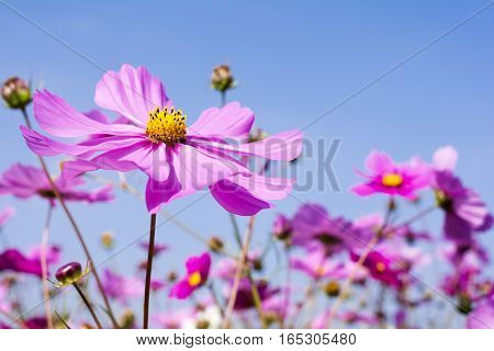 Pale pink cosmos flower field under blue sky