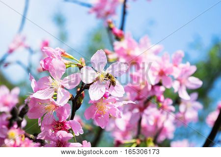 This 's Beautiful Sakura flower in the gardens