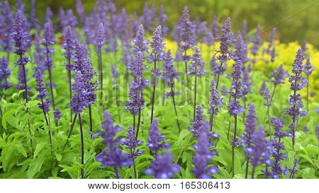 This 's Beautiful lavender flowers in the garden