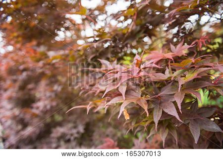 Beautiful sunset maple plants in the park