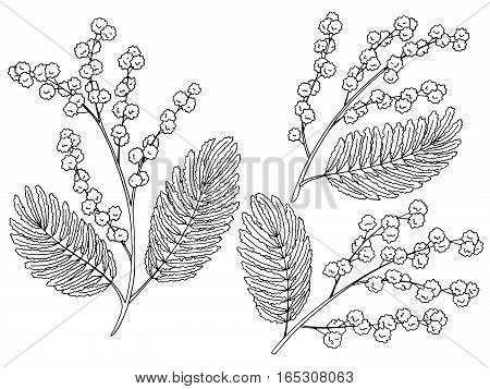 Mimosa graphic black white isolated sketch illustration vector