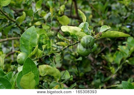 Lime Gardening, Lime Fruits On Tree.