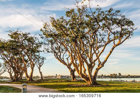 Morning sun on coral trees at Embarcadero Park North in San Diego, California.