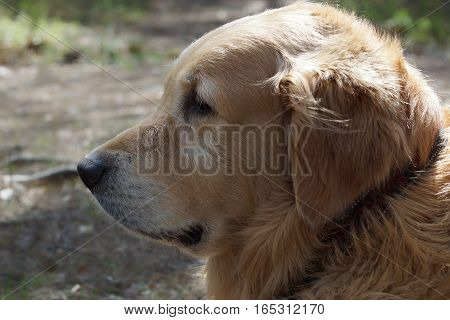 The dog breed golden retriever in profile, on background blurred earth