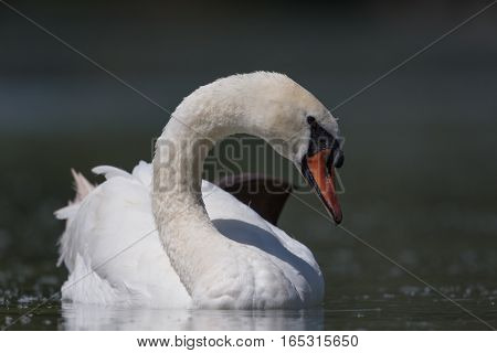 Front view portrait of swimming mute swan (Cygnus olor)