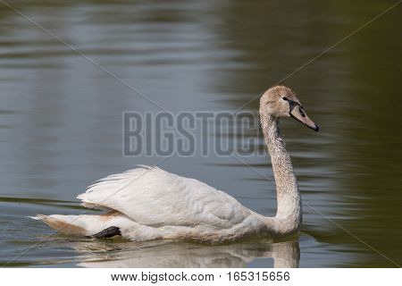 Side view of swimming mute swan (Cygnus olor)
