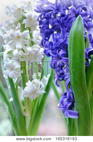 close on white and blue hyacinths in a garden