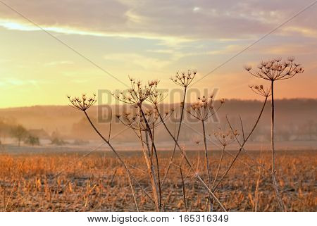 dry flowers on a colorful sky in a field at dusk