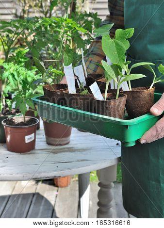 seedlings in cups holding bu a gardener