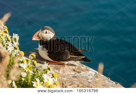 Common puffin bird sitting on a ledge