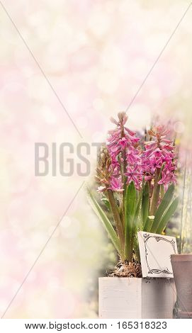 hyacinths in a box on pink vintage background