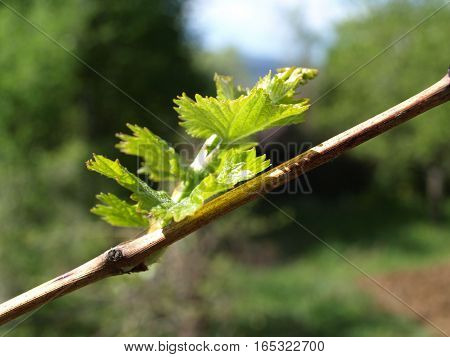 Fresh, young grape plant leave in the countryside