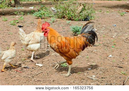 Rooster brown and black with a red crète a chicken and a chicken