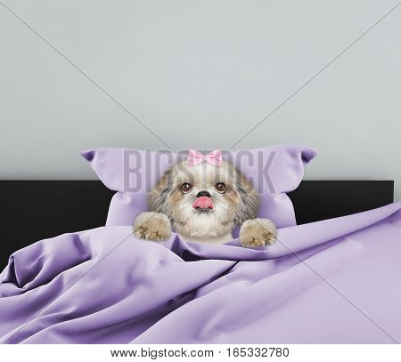 Cute shitzu sleeping dog in a bed