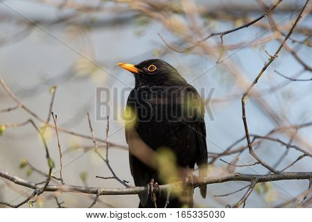 natural male (common) blackbird (Turdus merula) sitting