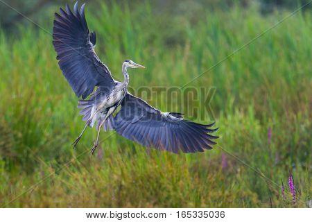 portrait of grey heron (Ardea cinerea) showing wings