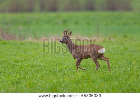 Young natural roebuck walking in green meadow