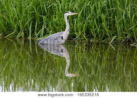 grey heron (Ardea cinerea) standing in green environment and reed