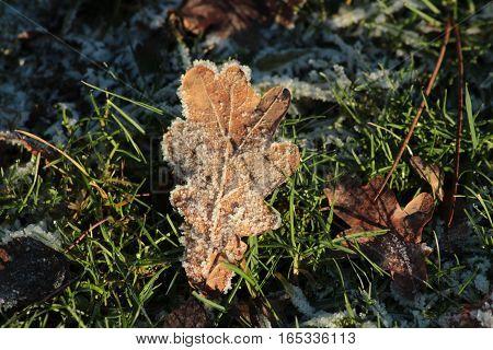 Fallen leaf in frozen grass/ The frozen leaf on green lawn.
