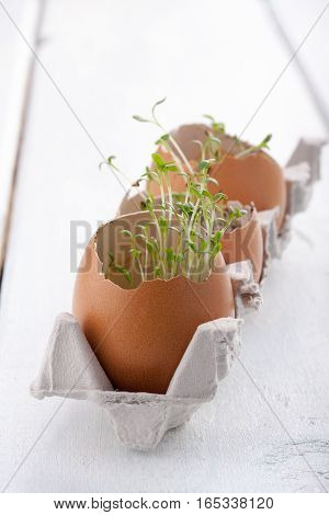 Young seedlings of cress salad in an eggshell. Easter decoration.