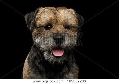 Close-up portrait of border terrier dog with closed eye winks isolated on black background, front view