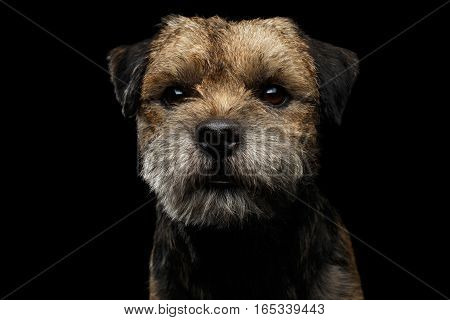 Close-up portrait of fabulous border terrier dog with kind eyes looking toy isolated on black background, front view