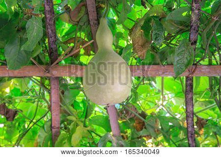 Fresh Bottle gourd, Calabash gourd, fruit and trees hanging in farm or plantation.