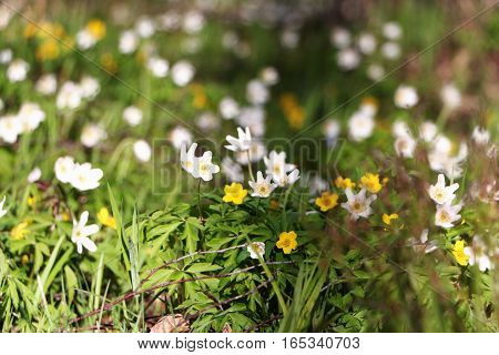 Flowering snowdrops yellow and white on a background of forest green grass.
