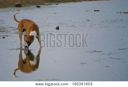 Dog drinking water on his reflection still life