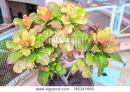 Colorful leaf or leaves in clay pot at indoor.