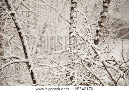 Branches covered with snow in the park. White tranquil winter snowing background. Cottonwood trees frozen in the forest