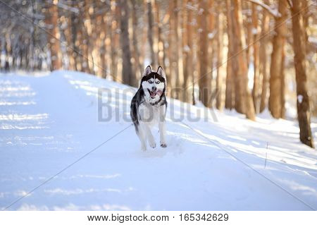 Male Husk outdoors in a snowy forest, funny, weird, silly, fun