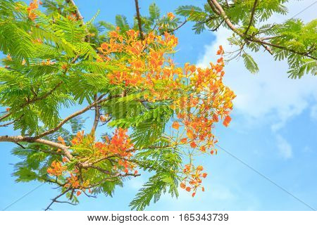 Cassia fistula flower or delonix regia with blue sky cloud on the background.