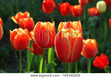 Close up of beautiful bright red tulips