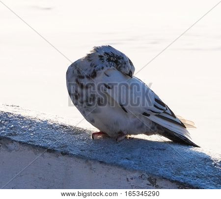 Animals in winter dove basks in the sun in Park