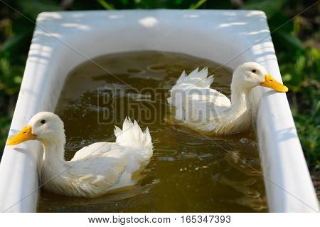 swimming nestling of duck on green background