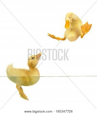 swimming nestling of duck on white background