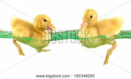 swimming nestling of two ducks on white background