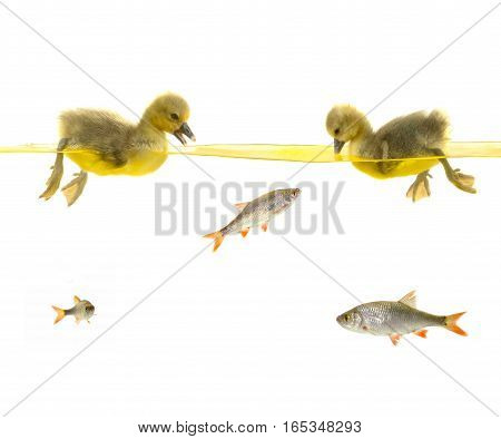 two baby gooses and fishes on white background