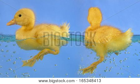 swimming nestling of baby duck on blue background
