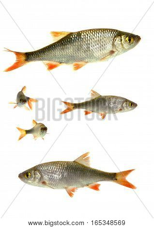 big and small fish roach on white background