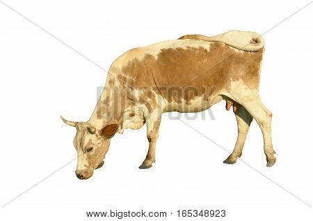 a mammal cow  isolated on white background