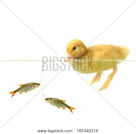 swimming nestling of baby duck and fishs  on a white background