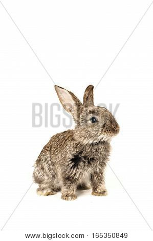 grey rabbit and old gramophone isolated on white background