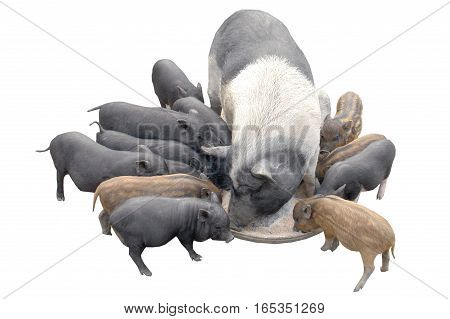 Big pig and pigslets isolated on a white background