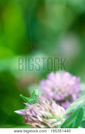 Grasshopper on a clover flower. Greenery colors image with Great Green Bush-Cricket Tettigonia viridissima. insect macro view, shallow depth of field, vertical